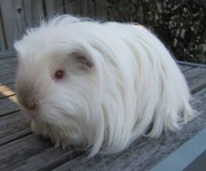 4 white male guinea pigs (6monthold) Jilliby Wyong Area Preview
