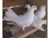 Fantail doves for sale £120
