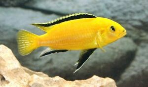 Yellow Lab/Electric Yellow Cichlid