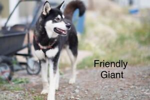 "Adult Male Dog - Husky: ""Friendly Giant"""