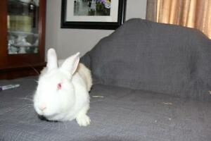 "Adult Female Rabbit - New Zealand: ""Lottie"" Cambridge Kitchener Area image 1"