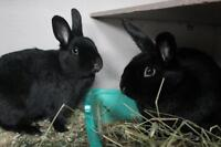 """Young Male Rabbit - Bunny Rabbit: """"Justice and Pudding"""""""