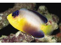 MARINE FISH / THIS IS A NICE SIZE MULTI COLOUR ANGELFISH FROM THE MARSHALL ISLANDS , FEEDING WELL