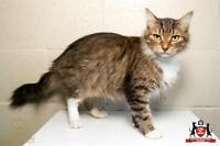 "Adult Female Cat - Domestic Long Hair: ""Gracias"""
