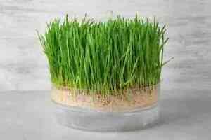 Heirloom/Non-gmo MicroGreens Seeds - Rainbow Seeds Canada