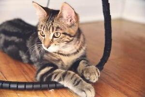 Young Female  - Tabby - Brown-Tabby London Ontario image 3