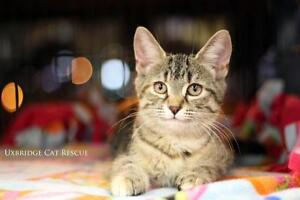 "Baby Female Cat - Tabby - Brown: ""Gypsy"""