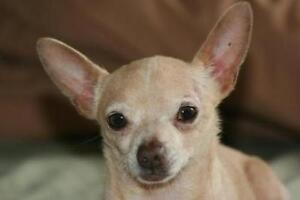 "Adult Male Dog - Chihuahua: ""Finnley"""