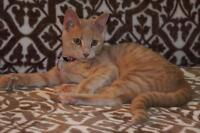 "Young Male Cat - Domestic Short Hair: ""zander"""