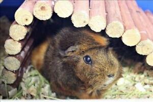 "Adult Female Small & Furry - Guinea Pig: ""Rosie"""