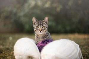 """Young Male Cat - Domestic Short Hair-Tabby: """"Alex"""""""