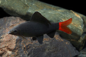 Red Tailed Shark 3 Inches