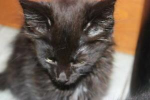 "Young Female Cat - Domestic Medium Hair-black: ""Heather"""