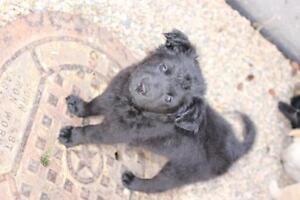 """Baby Female Dog - Retriever-Poodle: """"Rafiki"""""""