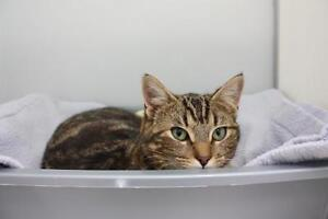 """Young Female Cat - Tabby - Brown: """"Hazel"""""""
