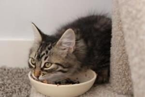 "Baby Male Cat - Domestic Medium Hair-Tabby: ""Neddy"""