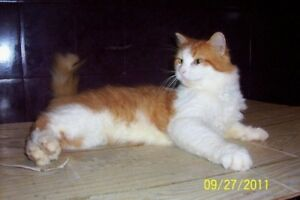 "Adult Male Cat - Domestic Medium Hair: ""PIEDRO"""