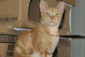 "Young Male Cat - Domestic Short Hair-orange: ""Tiger"""