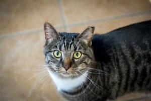 "Adult Male Cat - Domestic Short Hair: ""Bubba"""