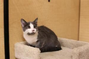 Baby Male  - Domestic Short Hair (Gray & White)-Russian Blue