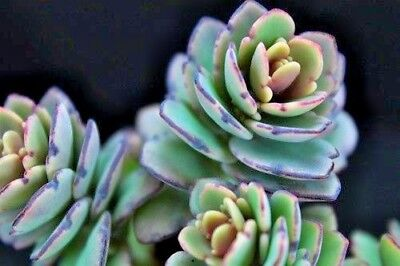 Succulent Live Plant Kalanchoe Fedtschenkoi  Lavender Scallops