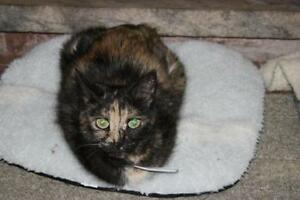 "Adult Female Cat - Tortoiseshell: ""Katie"""