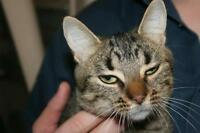 "Young Female Cat - Tabby: ""Jenna"""