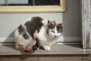 "Adult Female Cat - Dilute Calico: ""Africa"""