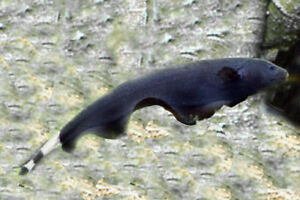 1 black ghost knife apteronotus albifrons live freshwater for Black ghost knife fish for sale