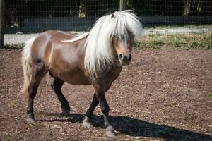 "Young Male Horse - Miniature Horse: ""TJ"""