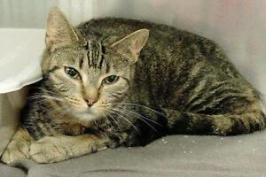 "Young Female Cat - Domestic Short Hair: ""Moira"""