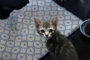 "Baby Female Cat - Domestic Short Hair-Tabby: ""Berry"""