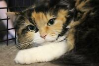 "Young Female Cat - Domestic Long Hair: ""Tessa"""