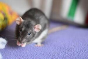 "Young Female Small & Furry - Rat: ""Amelie, Eline & Genevieve"""