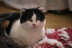 Senior Female  - Domestic Short Hair-black and white