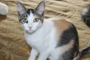 "Baby Female Cat - Domestic Short Hair: ""nellie"""