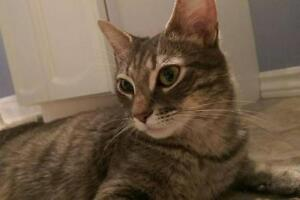 Adult Female  - Domestic Short Hair