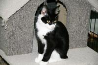 """Baby Male Cat - Domestic Short Hair-black and white: """"Patrick"""""""