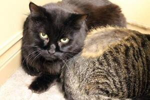 "Senior Male Cat - Domestic Medium Hair: ""Henri"""