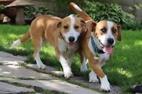 "Young Female Dog - Basset Hound-Beagle: ""Bonnie and Clyde"""