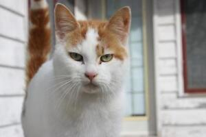 "Adult Male Cat - Domestic Short Hair (Orange & White): ""George"""
