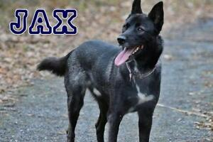 "Adult Male Dog - Shepherd-Husky: ""Jax"""