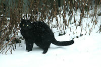 FREE - Beautiful clean and affectionate black cat