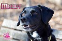 "Adult Female Dog - Labrador Retriever-Border Collie: ""Maddy"""