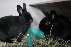 "Young Male Rabbit - Bunny Rabbit: ""Justice and Pudding"""