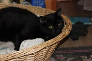 "Adult Female Cat - Domestic Short Hair (Black): ""Libby"""