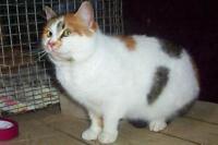 "Adult Female Cat - American Shorthair: ""MIRIN"""