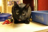 "Young Male Cat - Domestic Short Hair-black: ""Nero"""