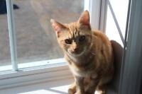 """Young Female Cat - Domestic Short Hair: """"Tess"""""""