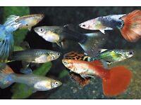 Tropical Fish guppies